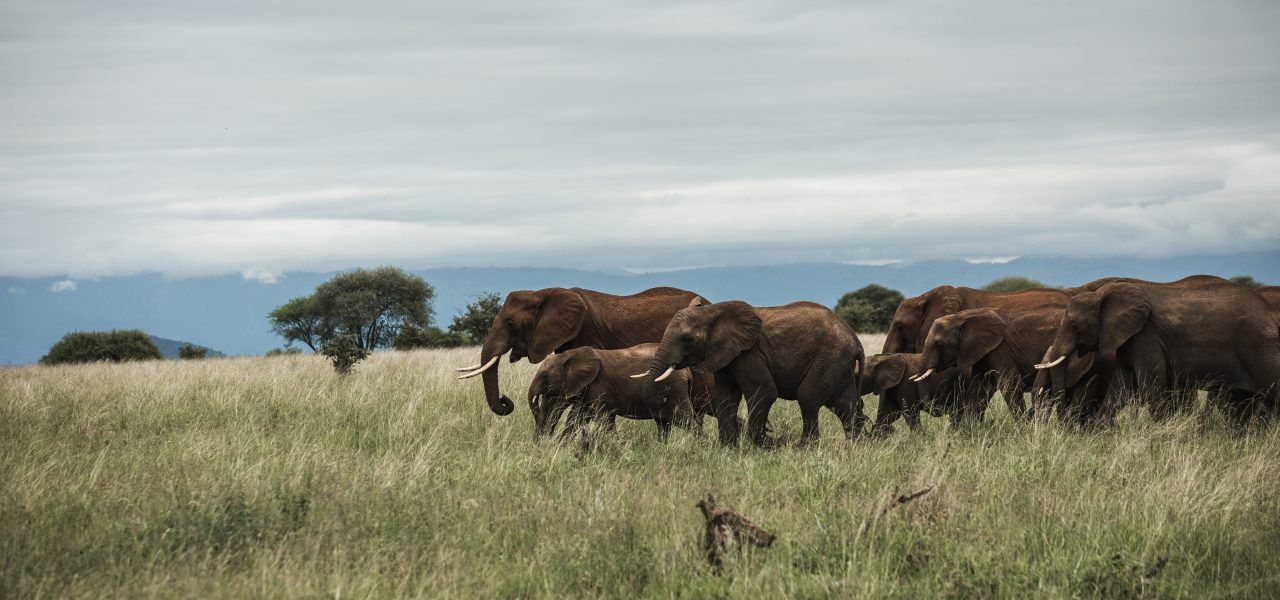 Herd of elephants with calves walking over grass.
