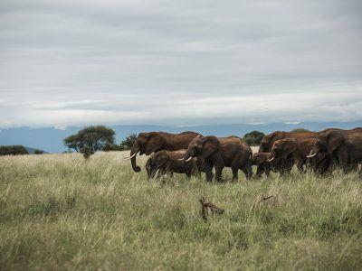 Herd of elephants with calves walking over grass.